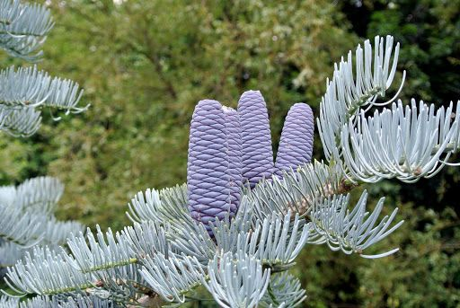 Abies Concolor Candicans Have Slightly Barrel Shaped Cones That