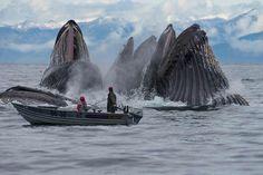 Humpback whales feeding in Alaska. Photo by Scott Methvin