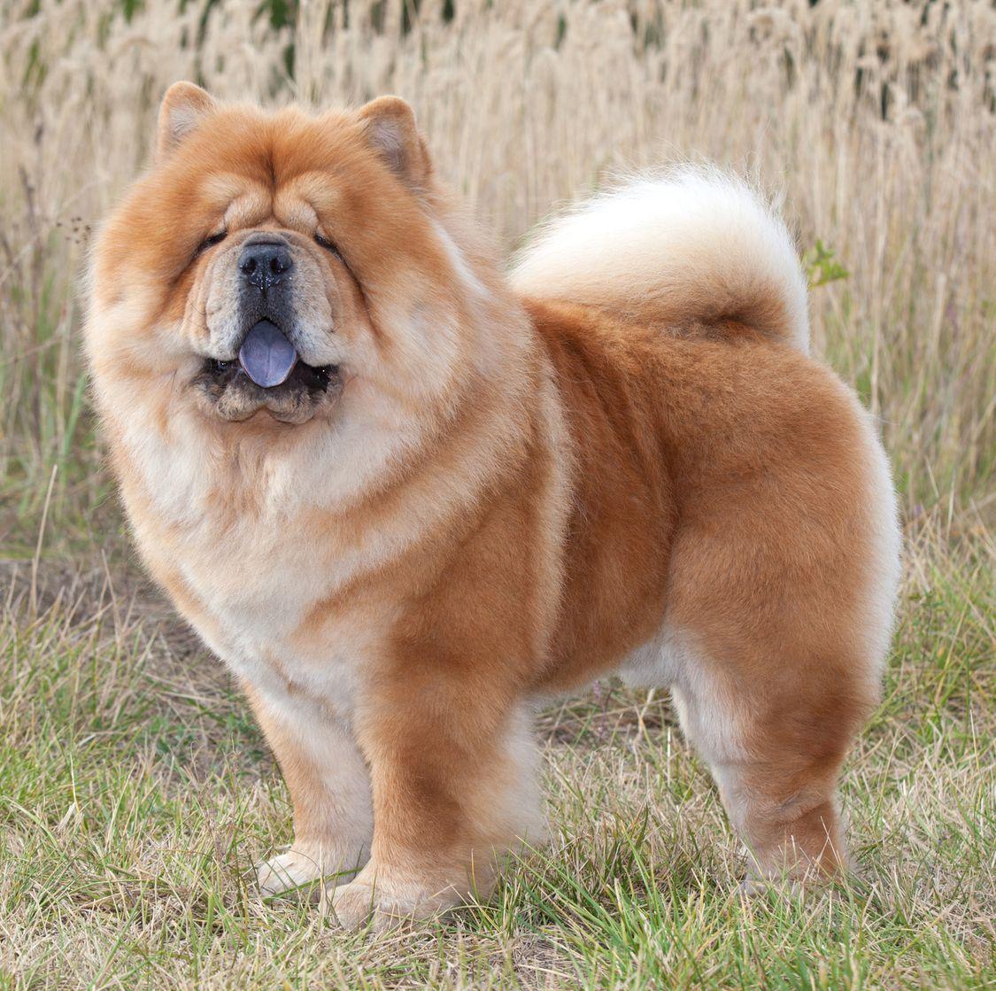 40 Best Medium Sized Dogs Large Dog Breeds Best Medium Sized