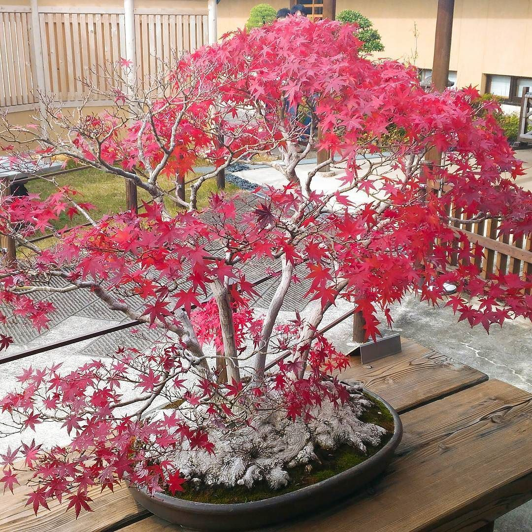 "Pin By ˋ¤ë½ë°© Ì¥""장 On ˶""재 ͙""ì´ˆ Maple Bonsai Bonsai Plants"