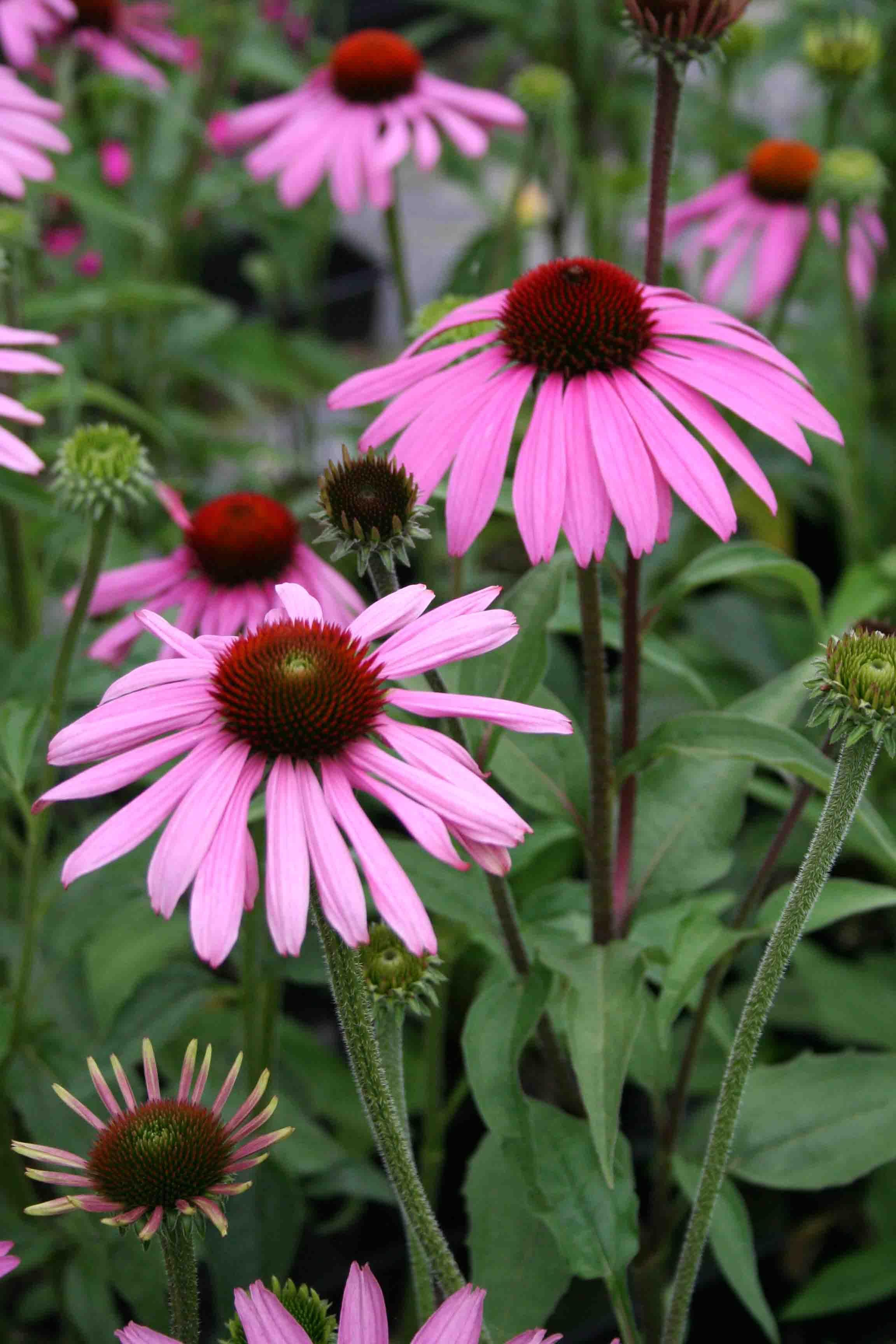 """Echinacea """"Prairie Splendor"""" Echinacea, Echinacea"""