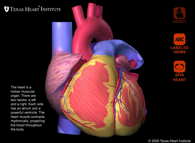 External Heart Anatomy: 360 degree view by Texas Heart Institute ...