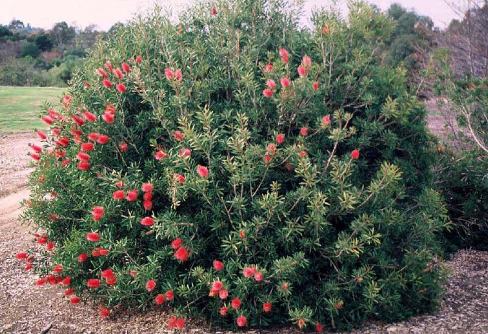 Bottle brush shrub crimson bottlebrush evergreen shrub for Tall evergreen shrubs