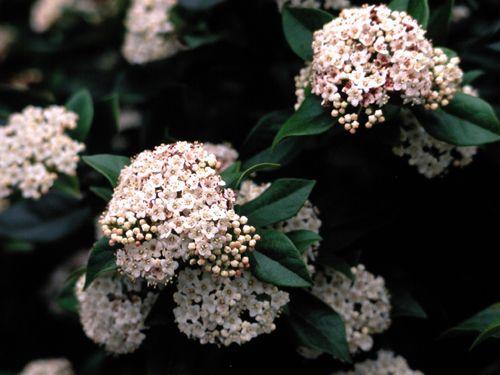 viburnum tinus spring bouquet a type of laurestinus laurustinus 8