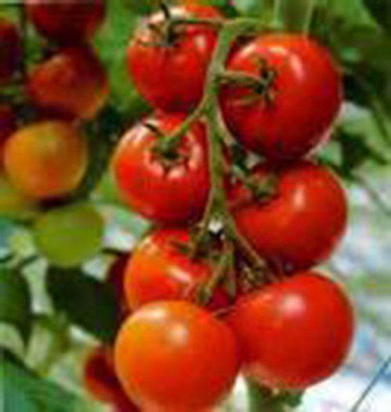 25 Siberian Tomato Seeds-1084 #anbauvongemüse