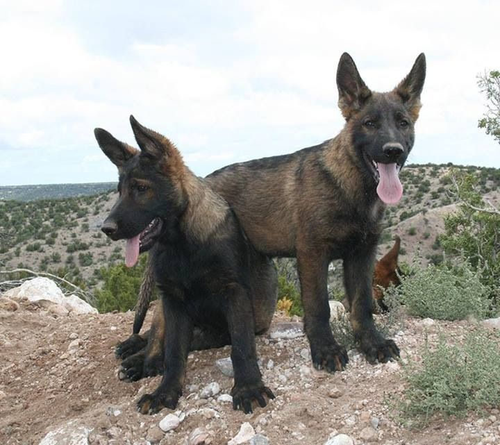 Ddr German Shepherd Puppies