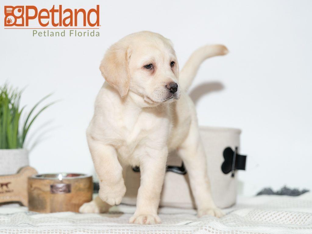 Puppies For Sale Labrador Retriever Puppy Friends Labrador Retriever Puppies