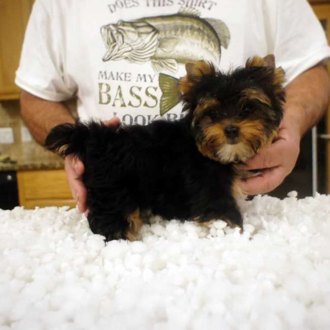 Brett Small Male Yorkie Pup He Most Likely Will Be Around 4 5
