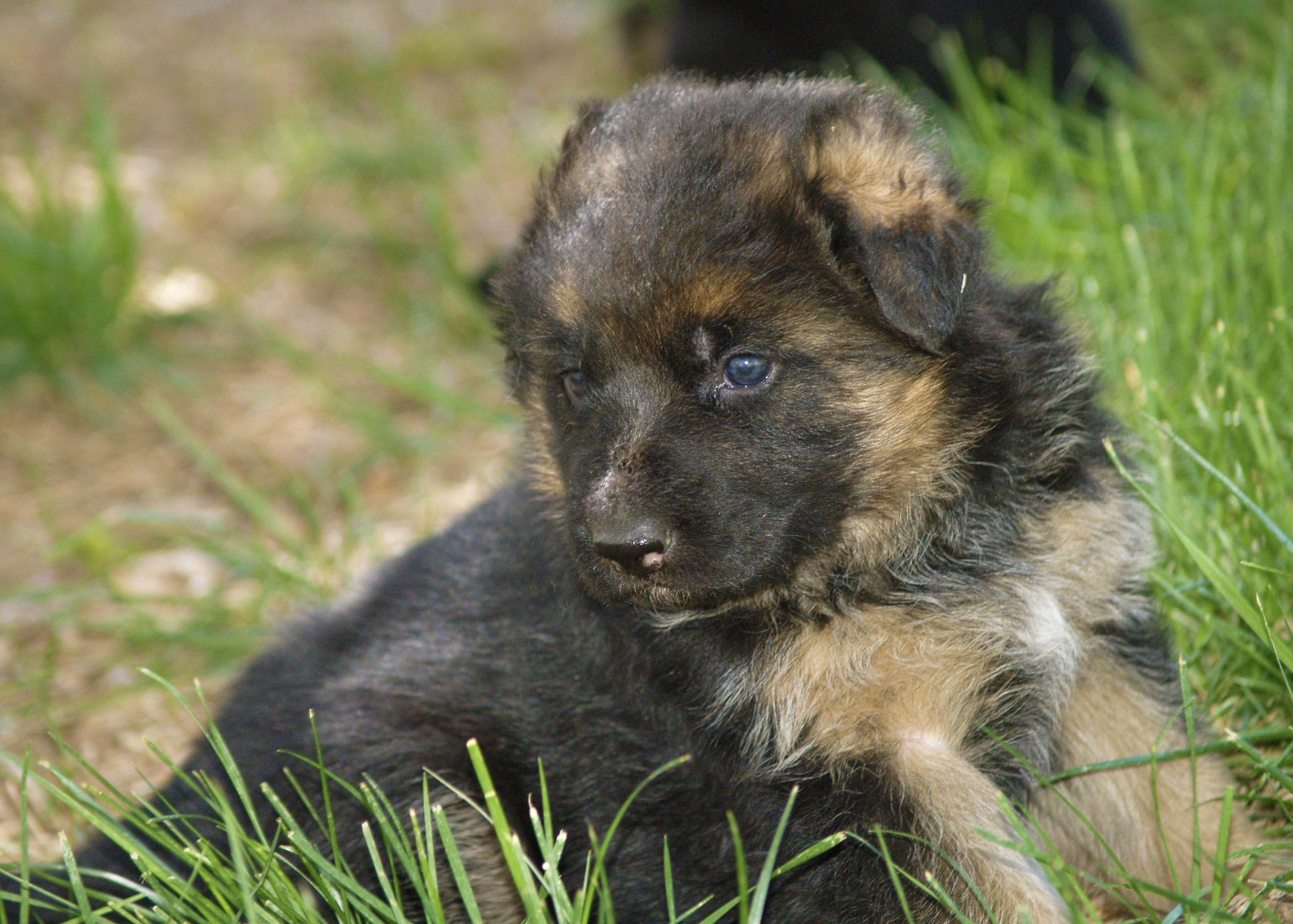 German Shepherd Puppy In 2020 German Shepherd Kennels German Shepherd German Shepherd Puppies