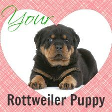 If You Re The Proud Owner Of A Rottweiler Puppy This Website