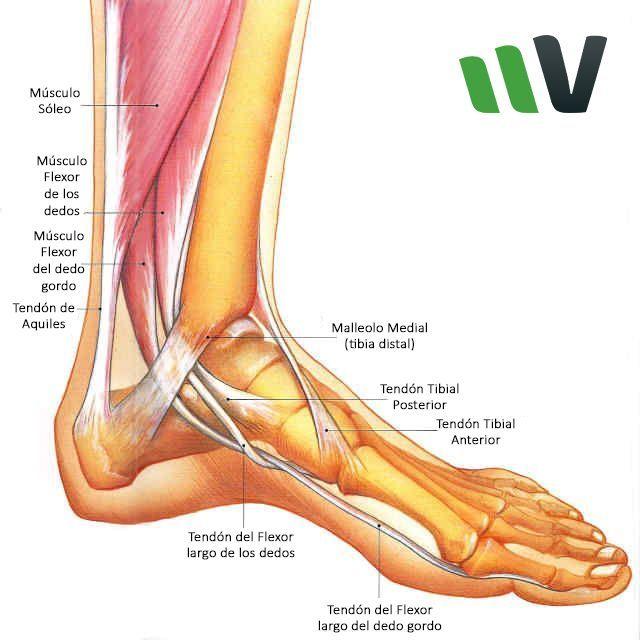 Vialta Tibial Posterior | Podo | Pinterest | Músculos, Anatomía y Salud