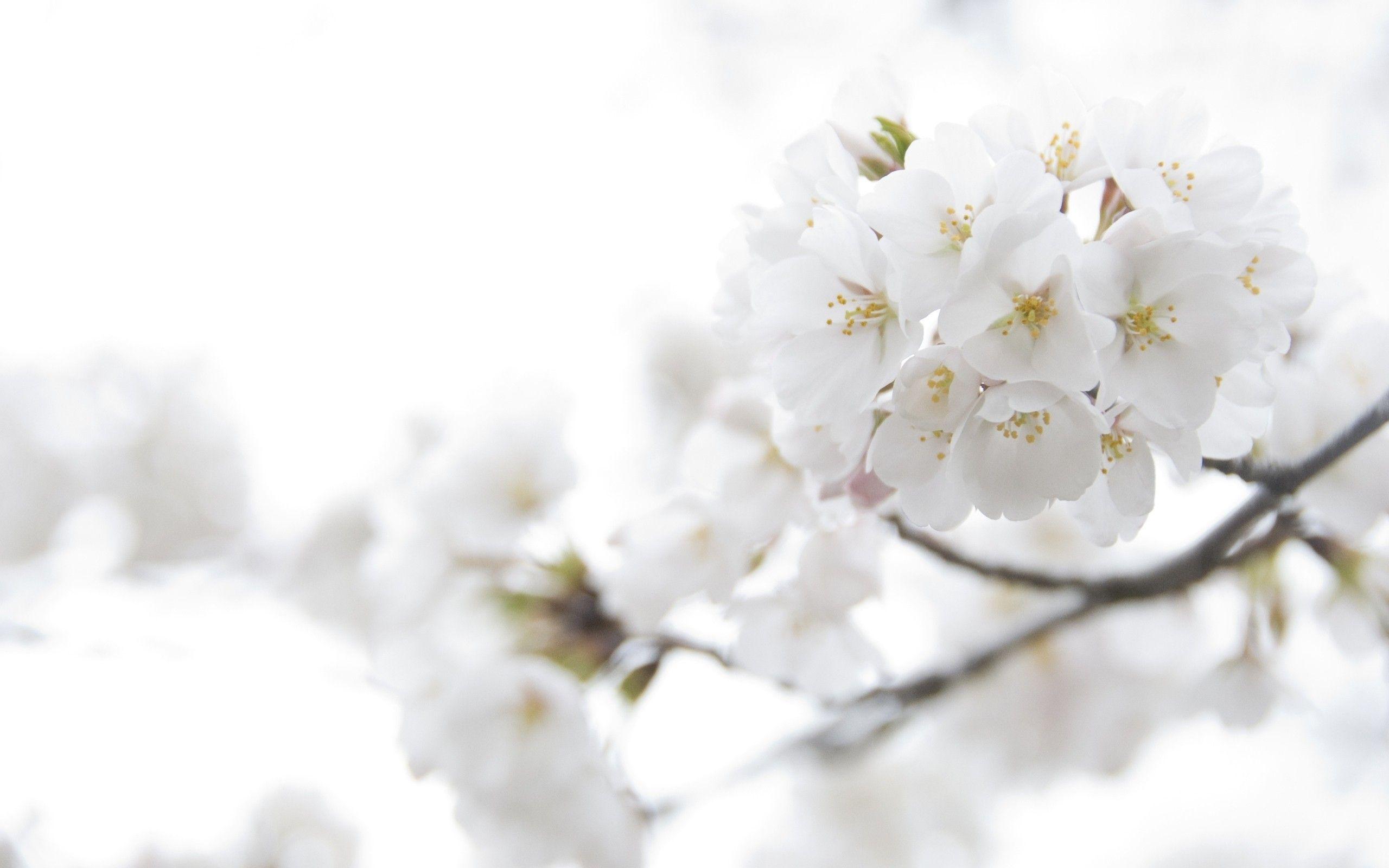 Beautiful white flowers wallpaper free linked in pinterest beautiful white flowers wallpaper free mightylinksfo Images
