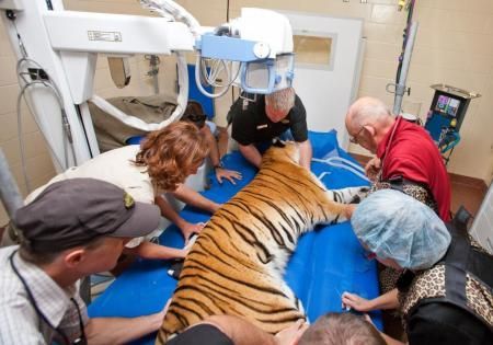 Animal care specialists position a tiger for x-rays at the Animal Care Center.