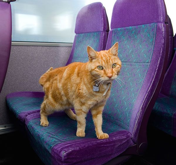 The Artful Dodger - A Ginger Tom Catching the Bus by Himself