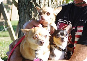 Elyria Oh Chihuahua Mix Meet Bonnie Clyde Dogs I Like