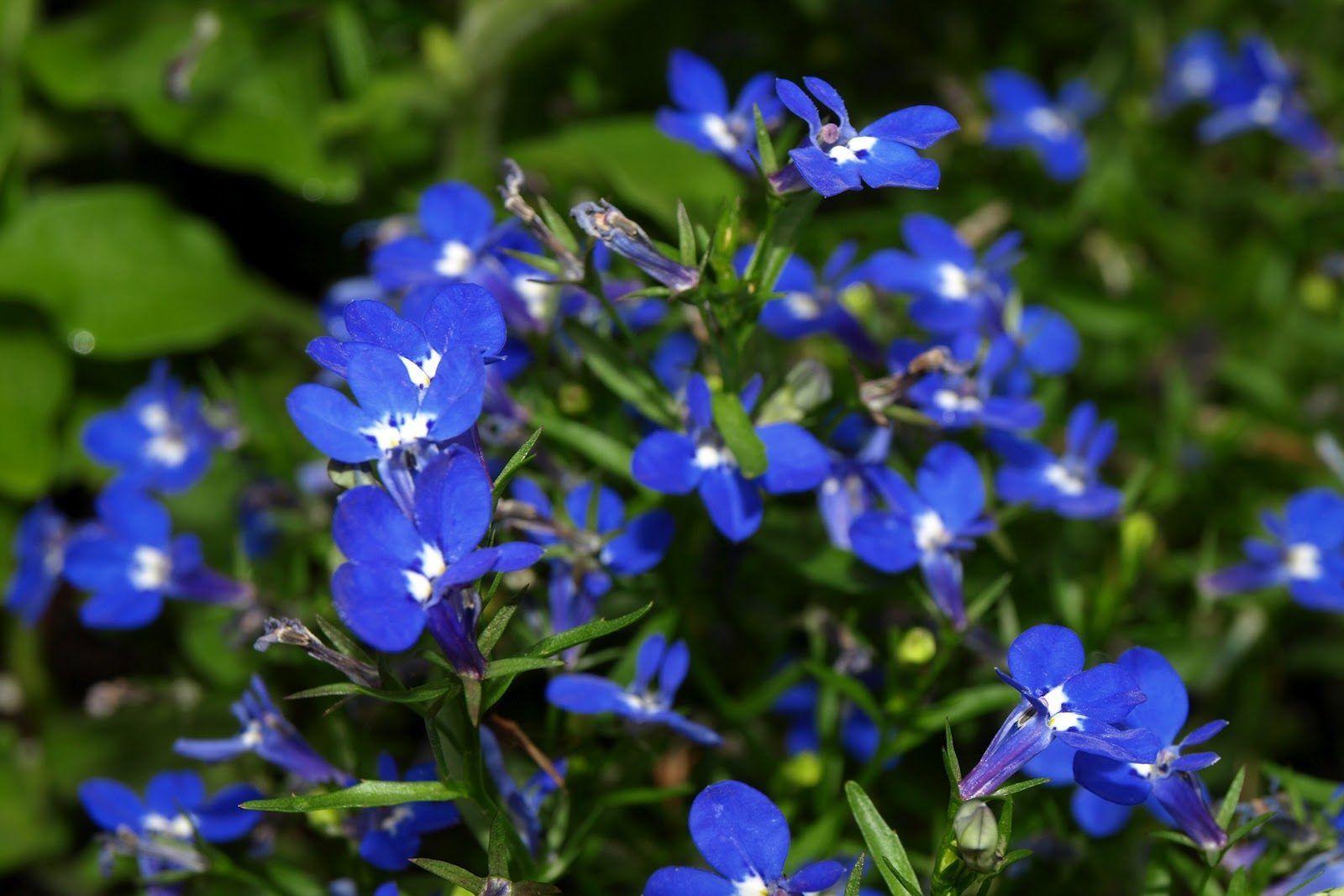 42++ Planta con flores azules pequenas ideas