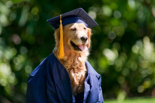 Hawaii Golden Retriever Wearing Graduation Cap And Gown Country