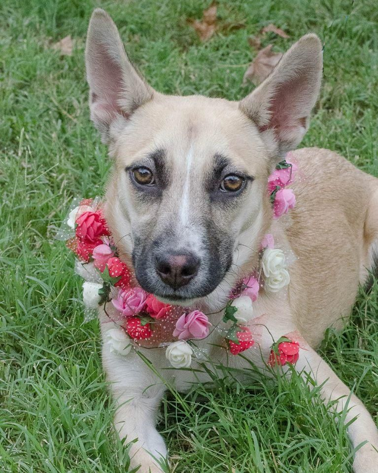 Adopt Simone on Canaan dog, Dogs, Dog mixes