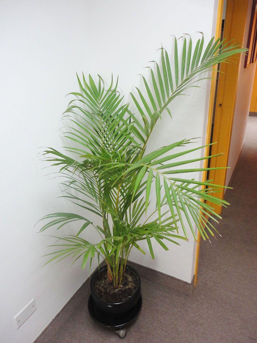 Palmera hawaiana chrysalidocarpus lutescens plantas de interior parte i plantas de interior - Plantas de interior palmeras ...