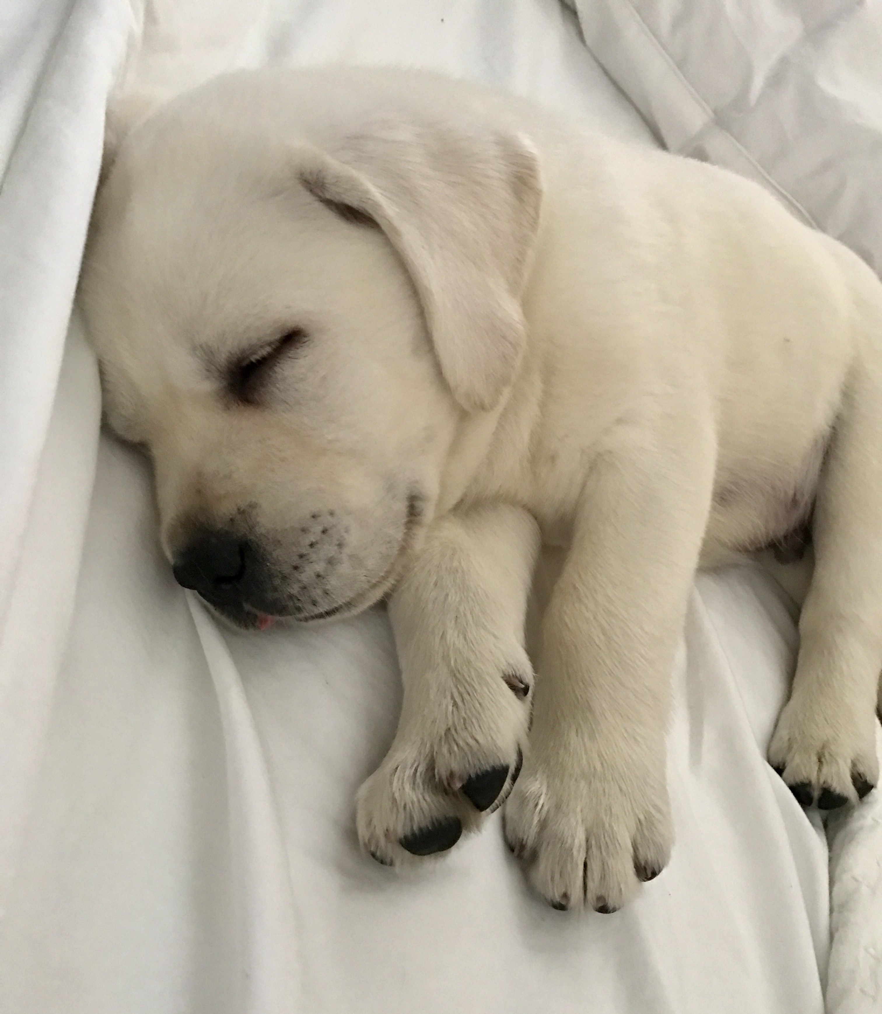 Lab puppy Labrador Pinterest
