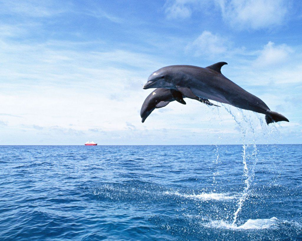 Dolphin Dolphins Animal Dolphins Whale