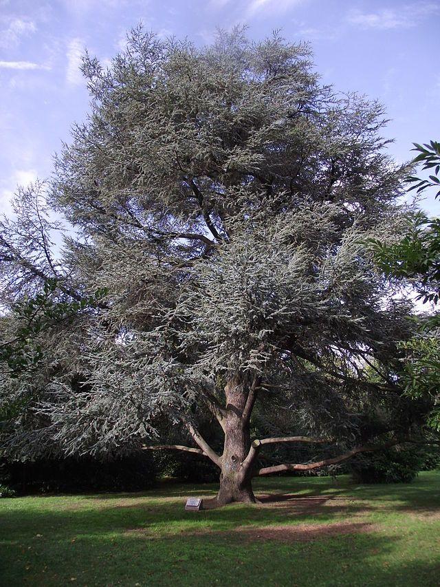 C dre bleu du gros buisson vigneux sur seine ile de - Cedre bleu du liban ...