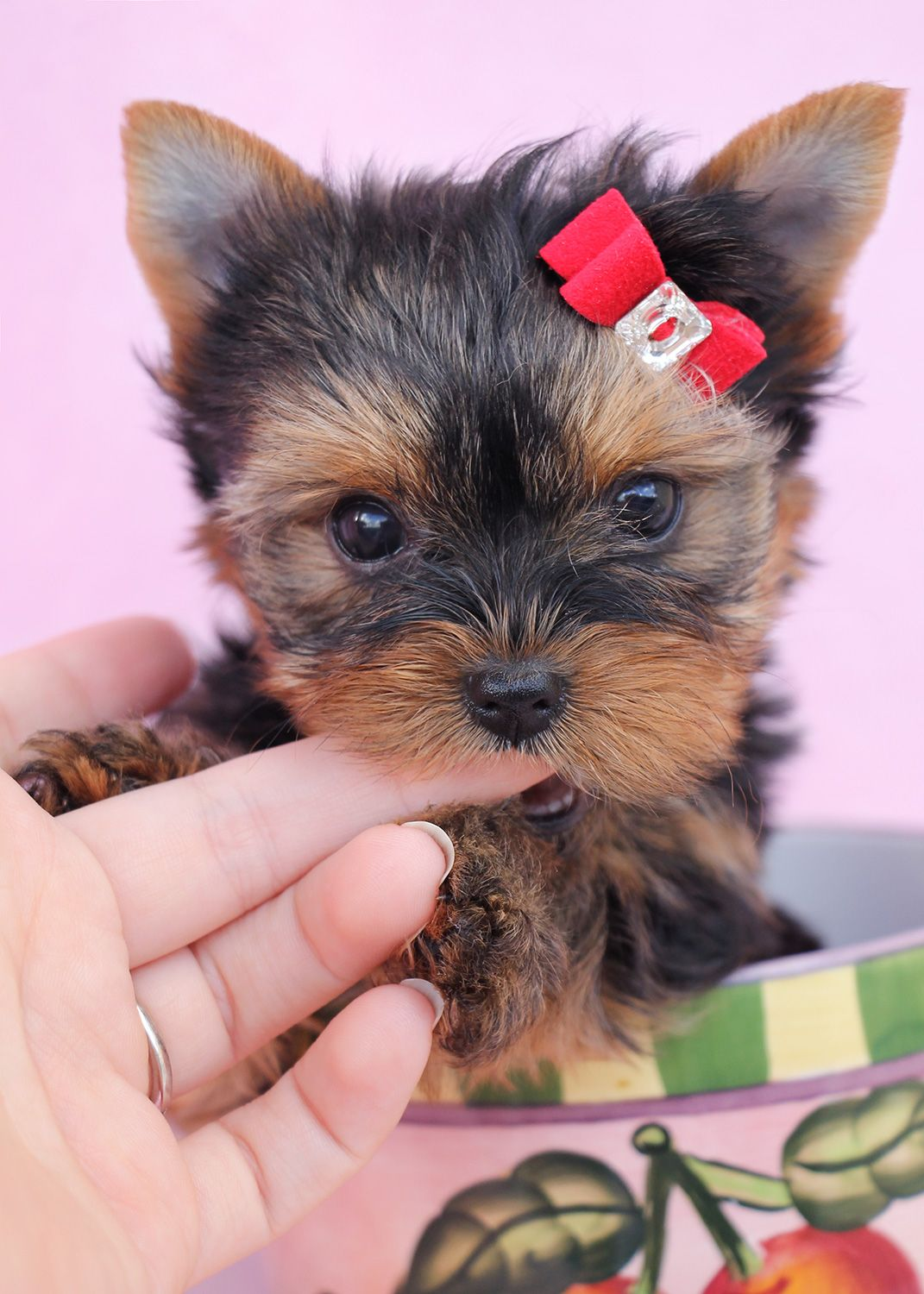 Look - Teacup Micro yorkie puppies for sale video