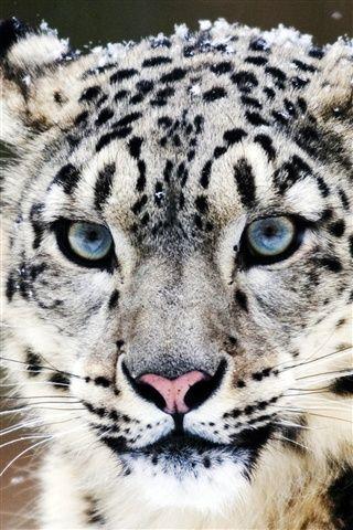 Blue eyes snow leopard face close-up iPhone 3GS wallpaper