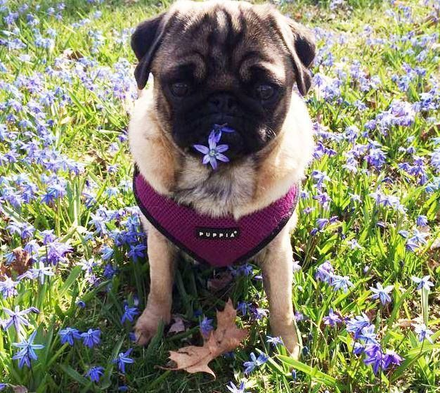 Purple Puppia Harness Available At Www Ilovepugs Co Uk Post