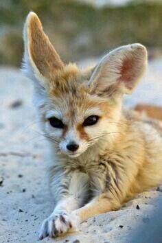 fennec fox foxes pinterest fennec fox, foxes and animalfennec fox