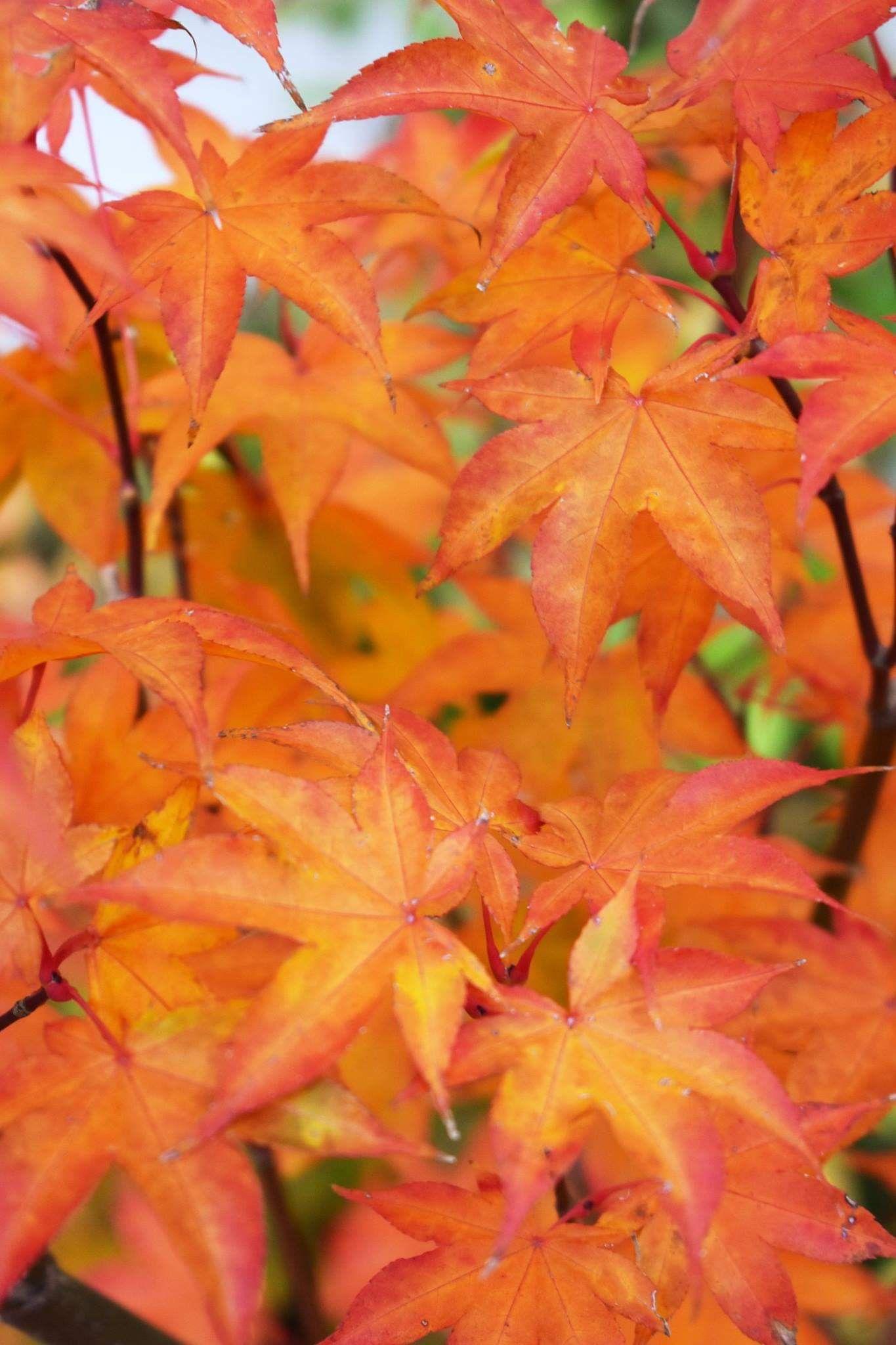 Saoshika Japanese Maple Fall Color Maple Falls Japanese Maple
