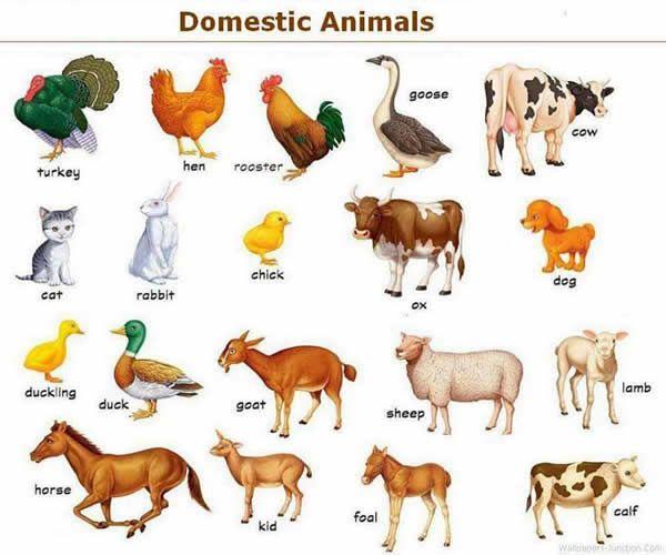Forum . Fluent LandDomestic Animals in English