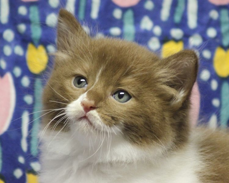 Dollnouveau Ragdolls Kittens Cutest Kittens Cute Animal Videos