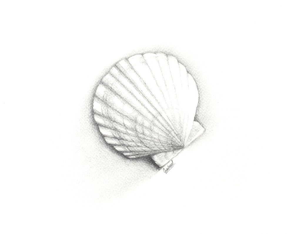 New scallop shell pencil drawing free shipping pastors sea new scallop shell pencil drawing free shipping biocorpaavc Image collections