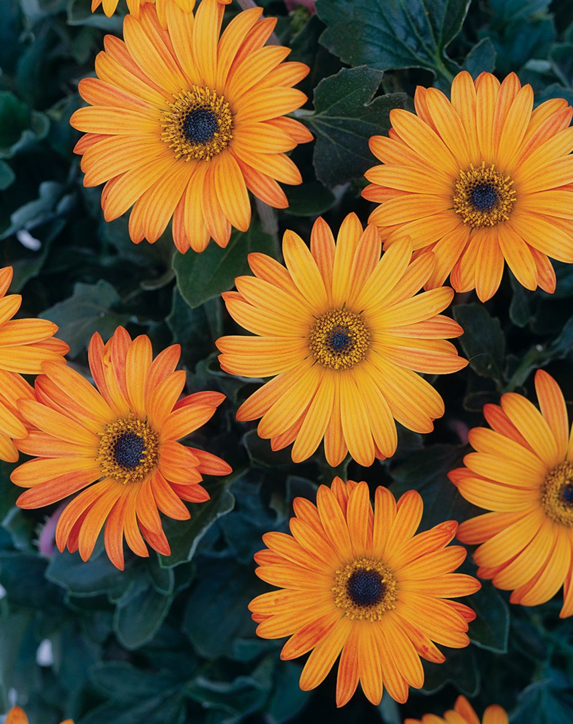 The ravers sunspot african daisy arctotis hybrid shrubs proven winners the ravers sunspot african daisy arctotis hybrid yellow plant details information and resources dhlflorist Choice Image