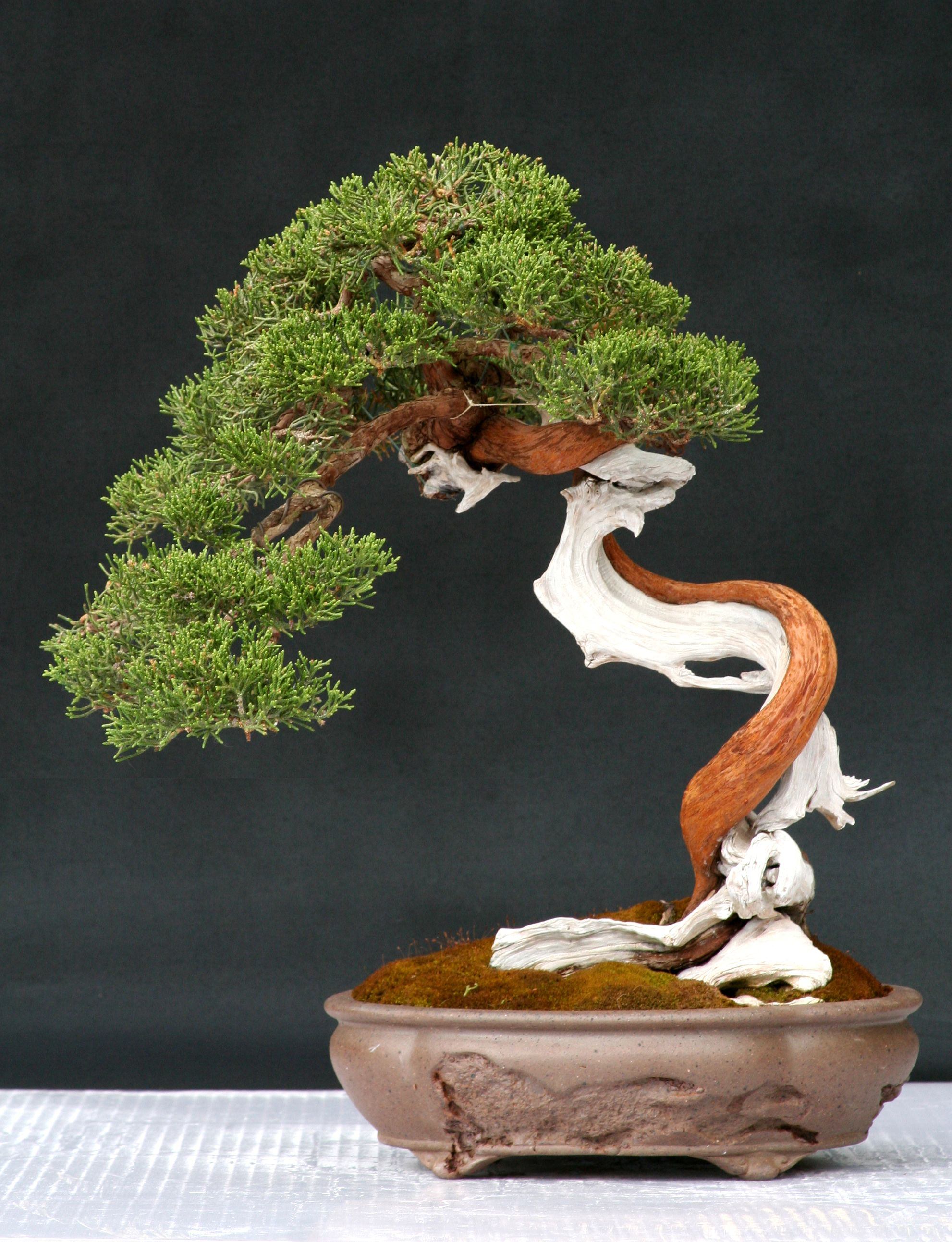 Juniper Bonsai Make some Gin from the berry's...haha ...