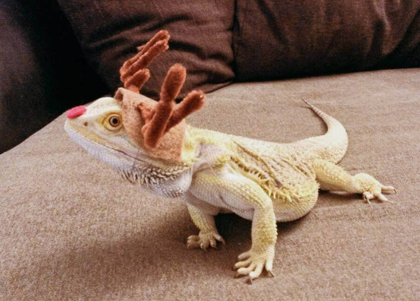 These 15 Cute Pets Are So Ready For Halloween Bearded Dragon Diy Bearded Dragon Care Bearded Dragon Clothes