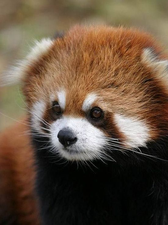 baby red panda   Red Panda   Pinterest   So cute, Sister love and ...