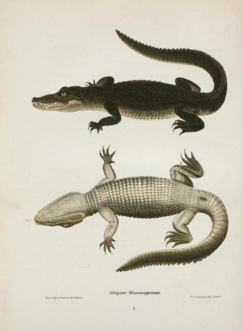 Alligator Mississippiensis. (1842) | circus | Pinterest | Anatomía ...