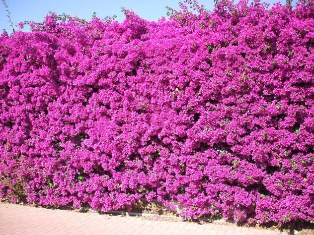Buganvilla muro vegetal backyard garden design garden for Planta arbustos para jardineras
