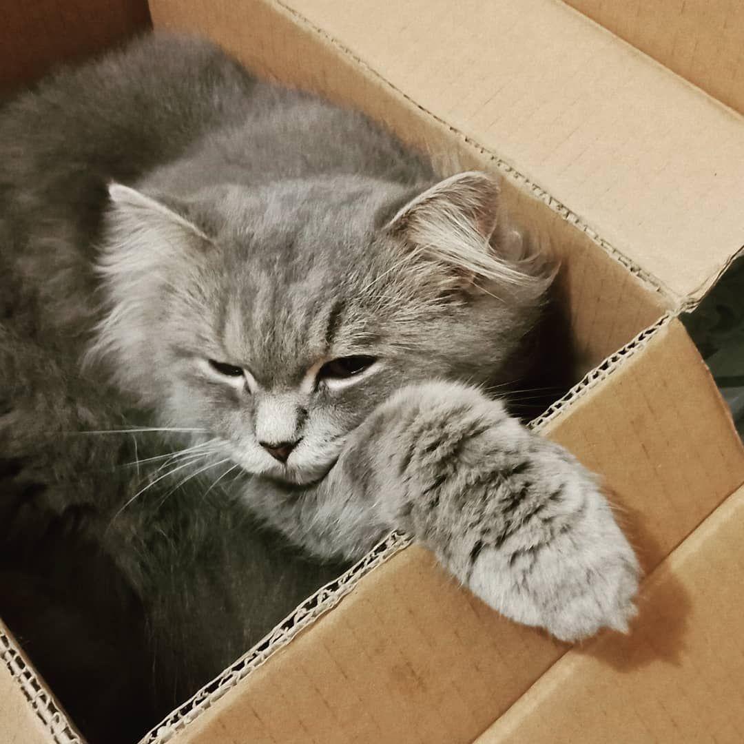 Pompom  #cutecats #bestmeow #kittens #kucingpersia #kucinglucu #lovemycat #catstocker #catinstagram #kucingcomel #cat #catlovers #funnycats #animals #lovecats #meow #catlife #ilovecats #instacat #lovecat #catofinstagram #catininstagramsi #instacatsu#pecintakucing #kucingpersiaindonesia #kucingindonesia#americanbobtail #bobtailsofinstagram #bestmeow #bestcats #kitty #kittycatselfiesofinstagram