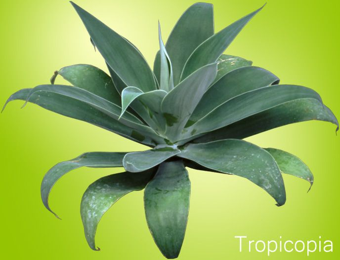 how to grow agave plants care guide - House Plant Identification Guide By Picture