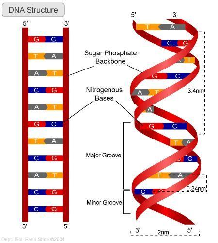 DNA Structure | Dna model project, Dna, Dna model