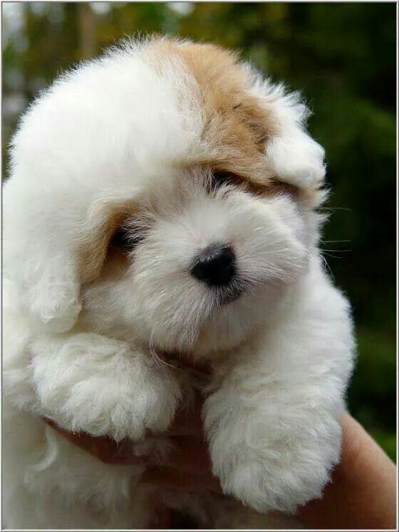 White N Brown Cute Animals Fluffy Puppies Pets