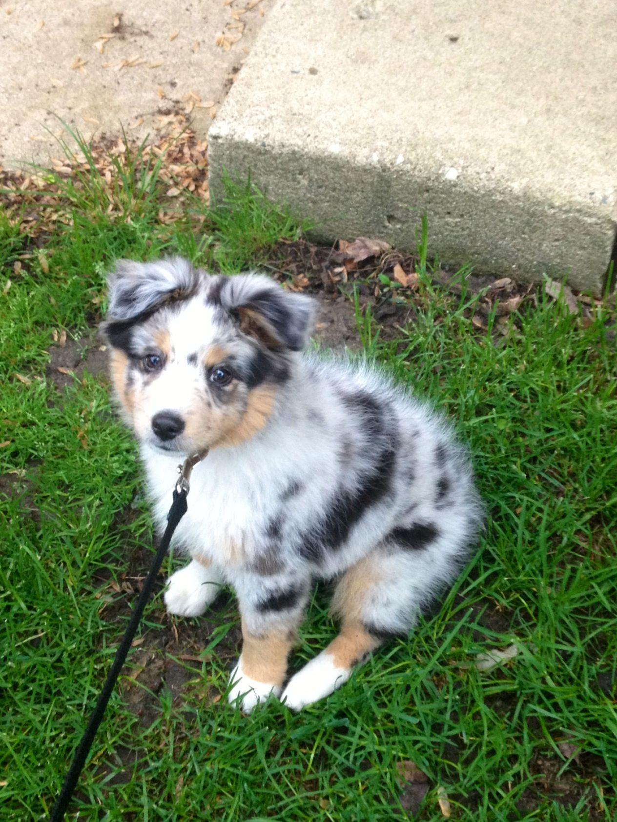 Our miniature Austrailian shepherd puppy Trooper Aussie