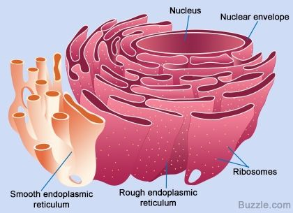 Endoplasmic Reticulum Animal Cell Diagram Ezgo Wiring Gas All About The Smooth And Its Function Batman