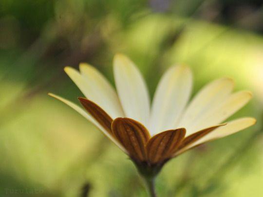 amarilla  by turulato