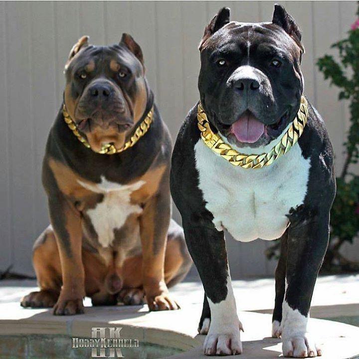 Www Bigdogchains Com Pitbulls Pitbull Terrier