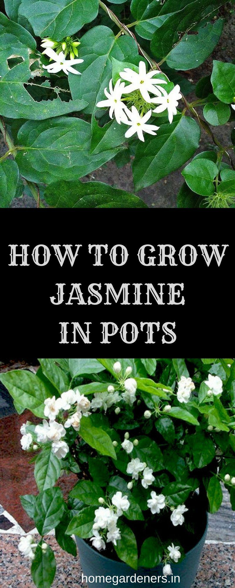 How to grow and care for jasmine plant flowering plants jasmine flowers izmirmasajfo