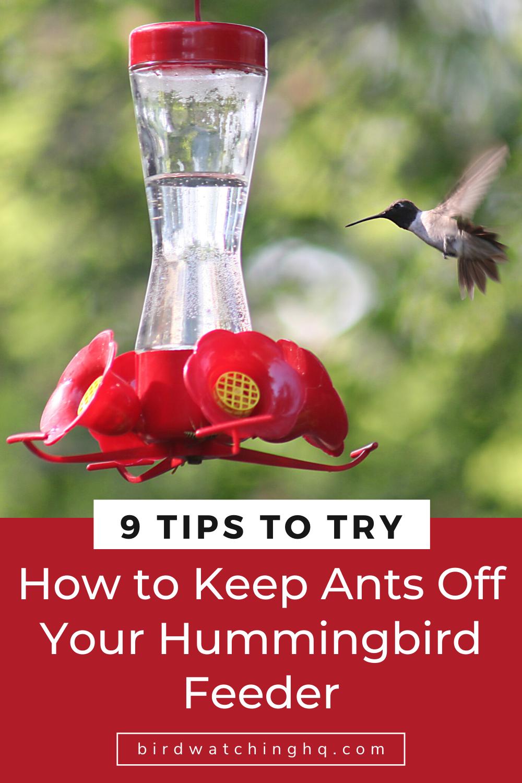 9 Ways To Keep Ants Off Your Hummingbird Feeders Bird Watching Hq Humming Bird Feeders Backyard Birds Hummingbird